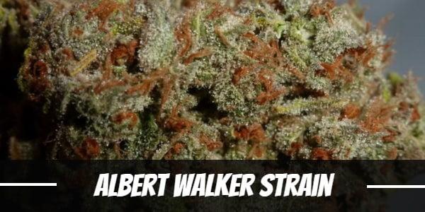 Albert Walker Strain