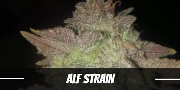 Alf Strain