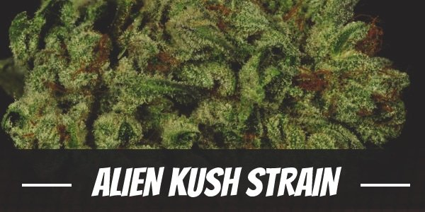Alien Kush Strain