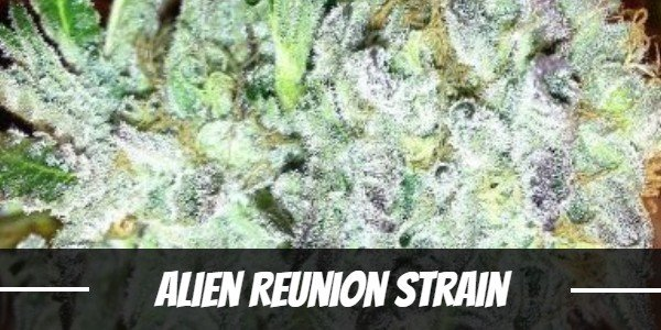 Alien Reunion Strain