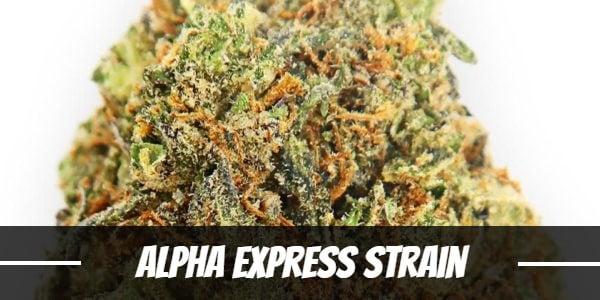 Alpha Express Strain