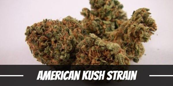 American Kush Strain