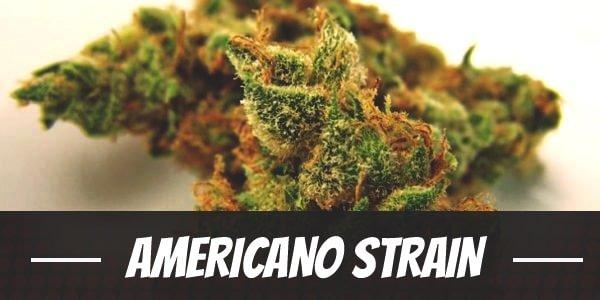 Americano Strain