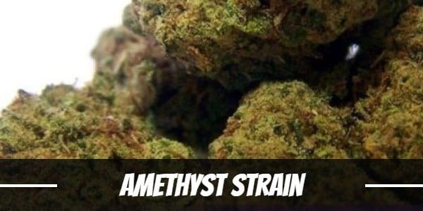 Amethyst Strain