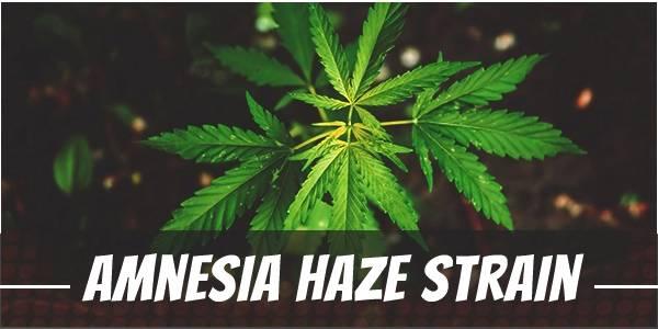 Amnesia Haze marijuana Strain