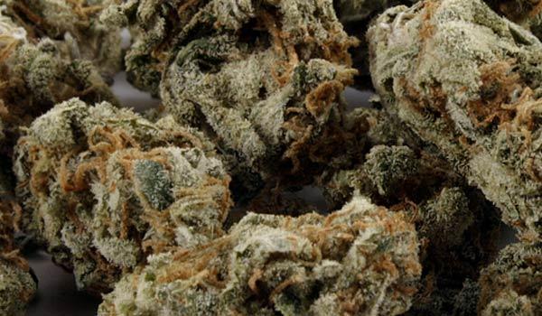 Amnesia Haze strain marijuana