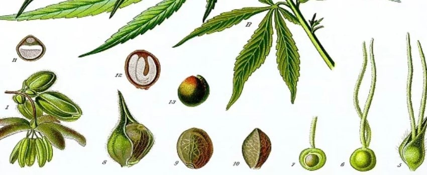 An Ancient History of Cannabis