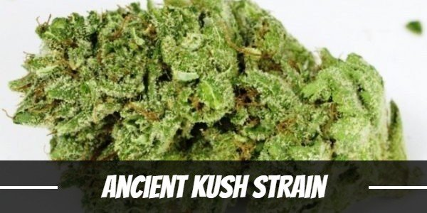 Ancient Kush Strain