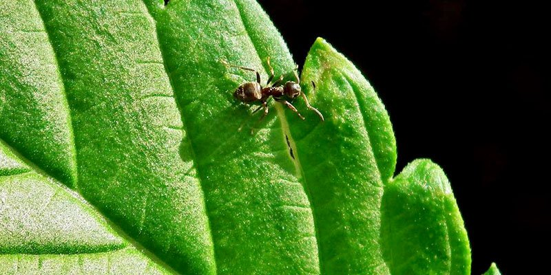 Ants on cannabis plants