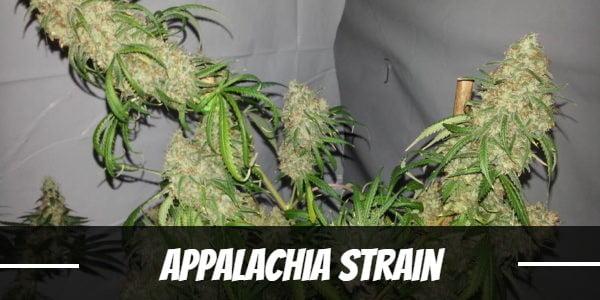 Appalachia Strain