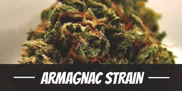 Armagnac Strain