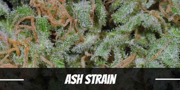Ash Strain