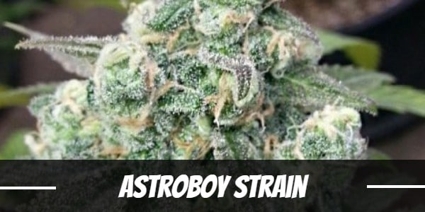 Astroboy Strain