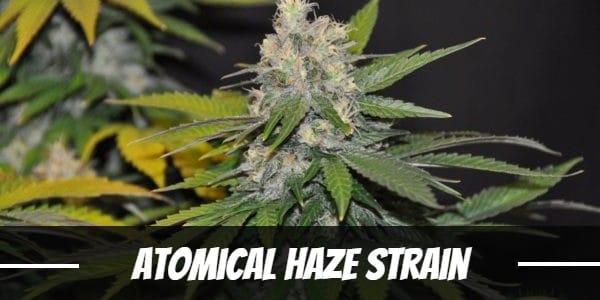 Atomical Haze Strain