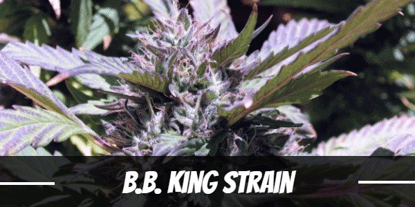 B.B. King Strain