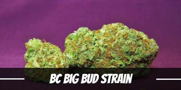 BC Big Bud Strain