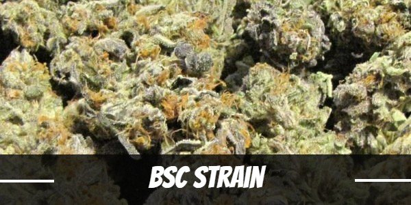 BSC Strain