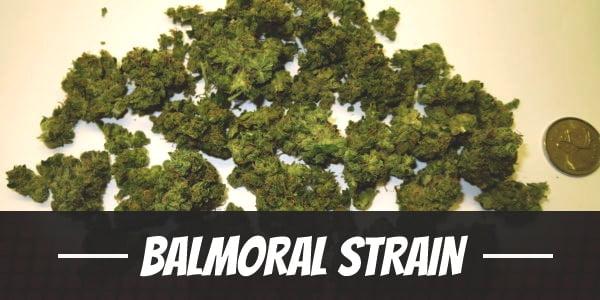 Balmoral Strain
