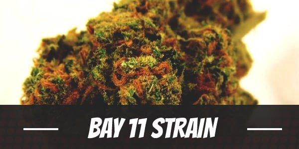 Bay 11 Strain