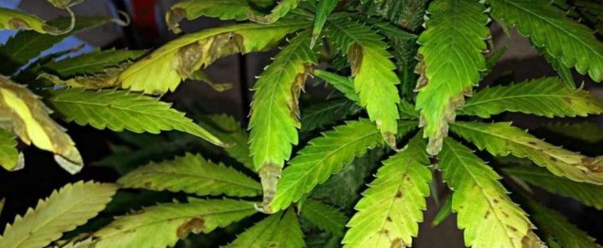 Beauveria Bassiana – Beneficial Fungi