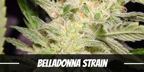 Belladonna Strain