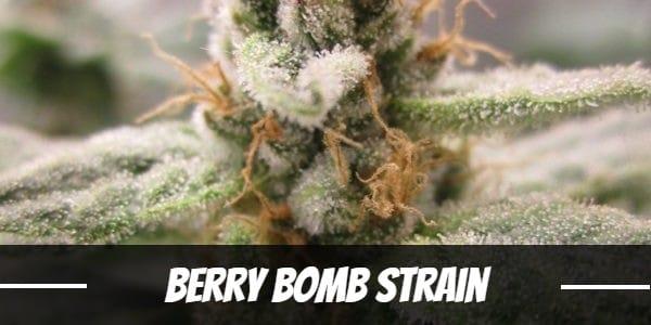 Berry Bomb Strain