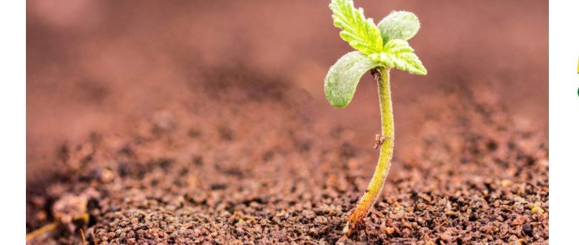 Best Soil for Growing Marijuana