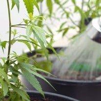 Best Water for Marijuana Plants