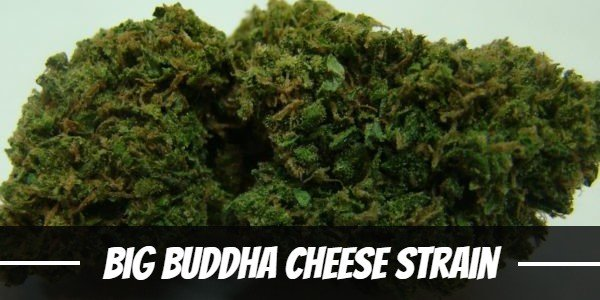 Big Buddha Cheese Strain