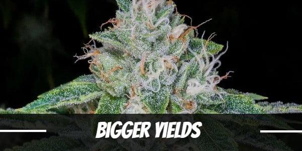 Bigger Marijuana Yields