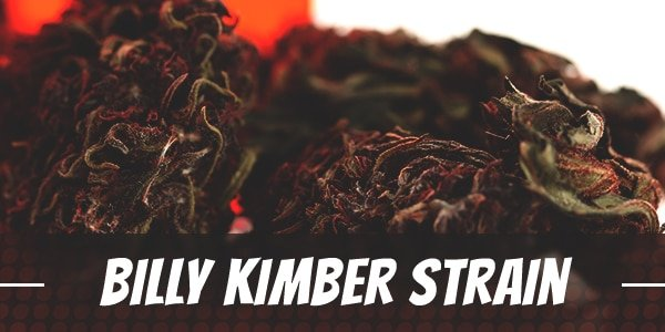 Billy Kimber marijuana strain