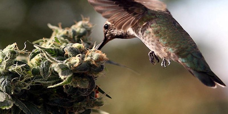 Birds on cannabis plants