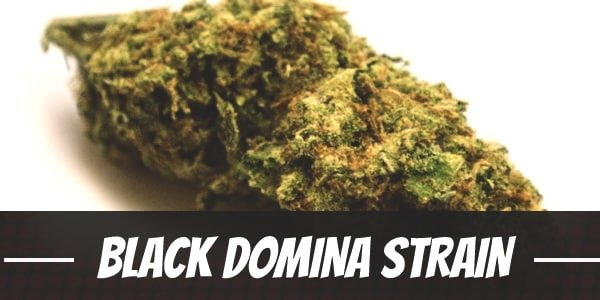 Black Domina Strain