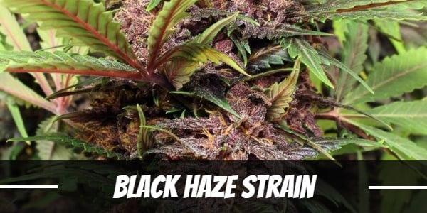 Black Haze Strain