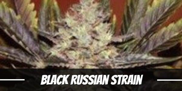 Black Russian Strain