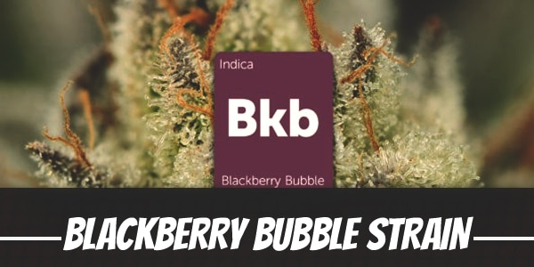 Blackberry Bubble Strain
