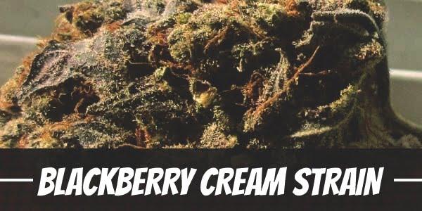 Blackberry Cream Strain