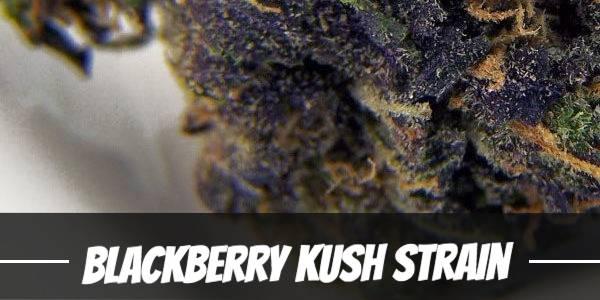 Blackberry Kush Strain