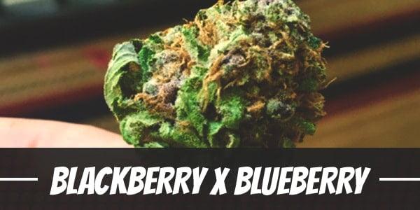 Blackberry X Blueberry