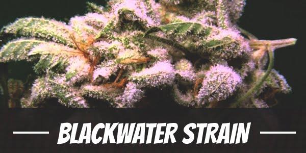 Blackwater Strain