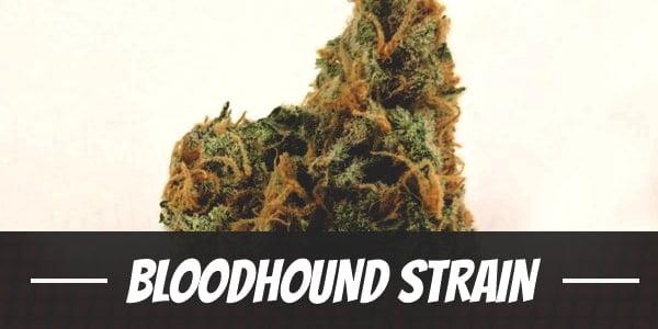 Bloodhound Strain