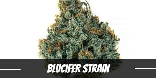Blucifer Strain