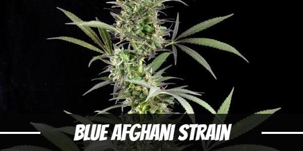 Blue Afghani Strain
