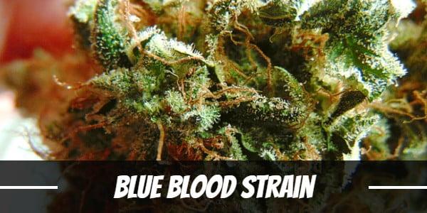 Blue Blood Strain