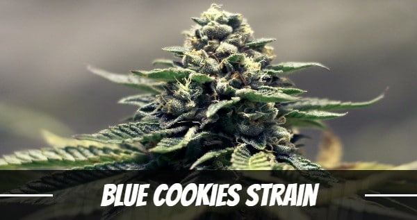 Blue Cookies Strain Effects