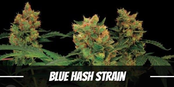 Blue Hash Strain