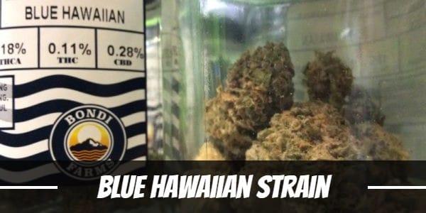 Blue Hawaiian Strain