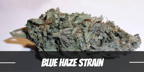 Blue Haze Strain