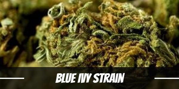 Blue Ivy Strain