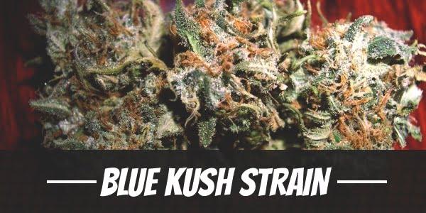 Blue Kush Strain
